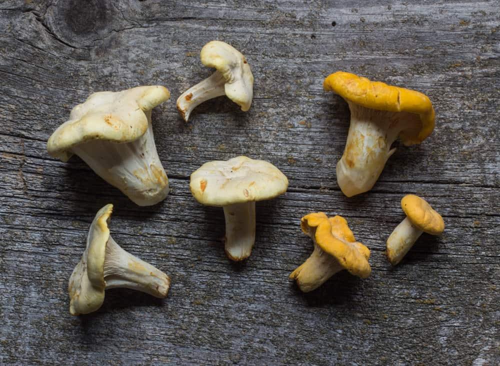 Golden and White Chanterelle Mushrooms