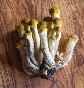 Honey Mushrooms, Armillaria mellea