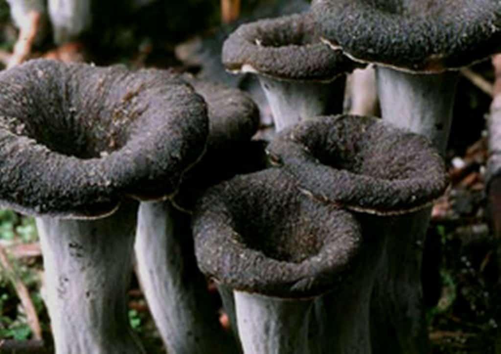Hunting and cooking black trumpet mushrooms - Cuisiner trompette de la mort ...