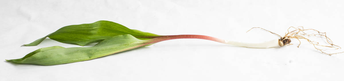 Ramps or wild leeks, Allium triccocum