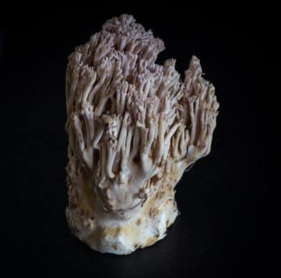 a ramaria mushroom