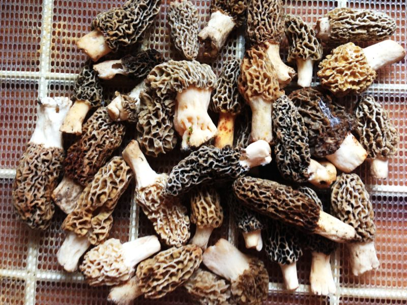 the wrong way to dry morel mushrooms