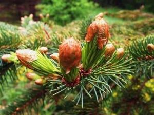 Nice edible Spruce Tips