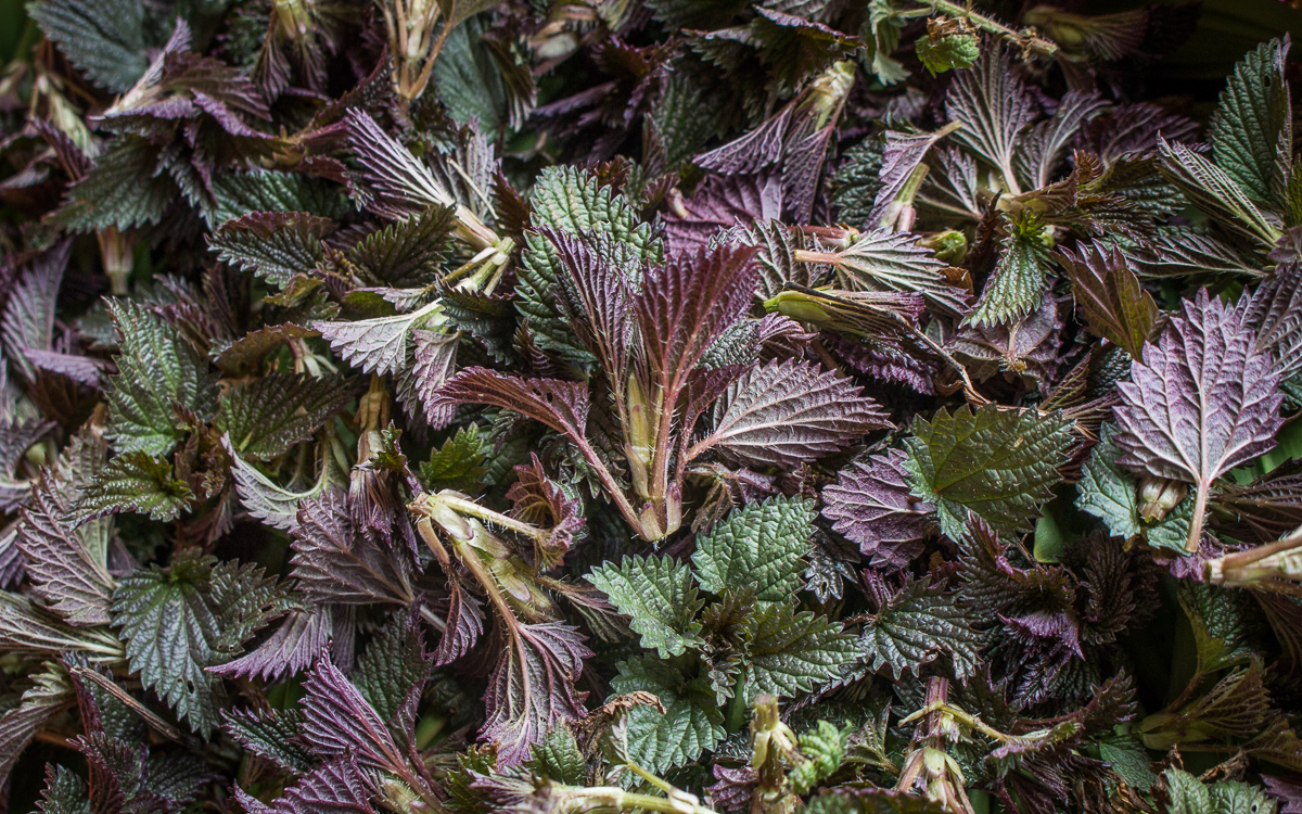 Young purple nettles