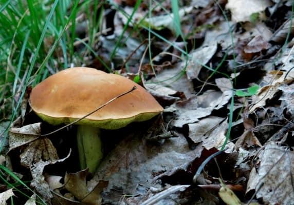 leccinum subglabripes