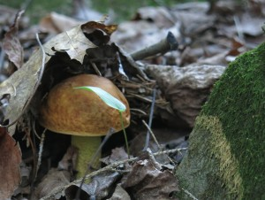 The Yellow Leccinum Mushroom: Boletus / Leccinum Subglabripes
