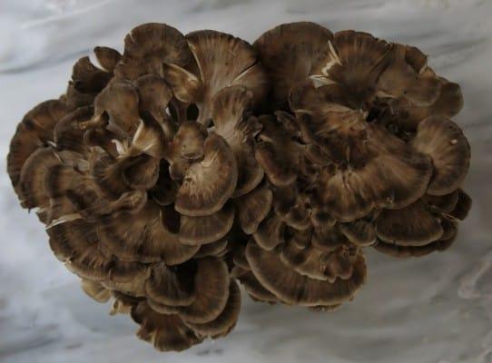 minnesota hen of the woods sheepshead ramshead mushroom
