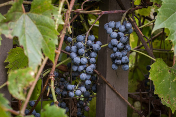 Foraged wild grapes