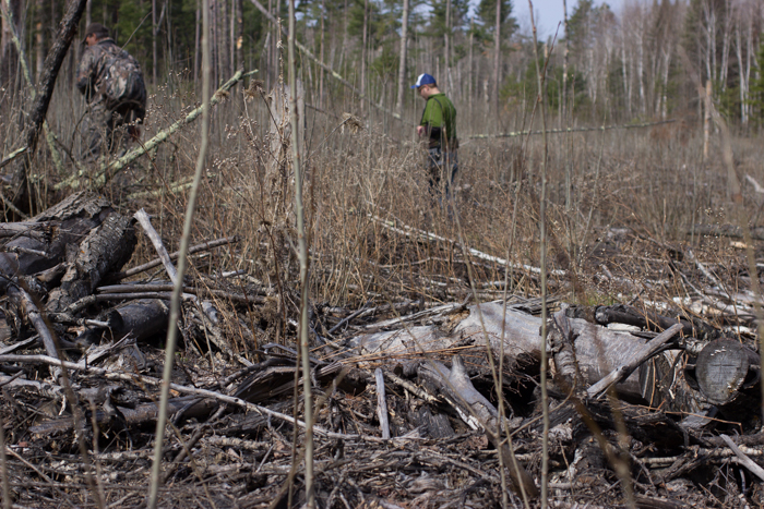 Hunting black morels in aspen clear cut.