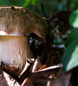 Return Of The King, Bolete.