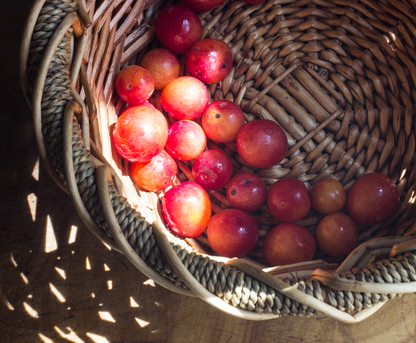 minnesota wild plums