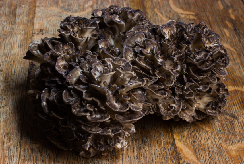 minnesota maitake hen of the woods
