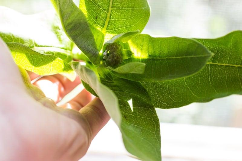 milkweed minnesota edible