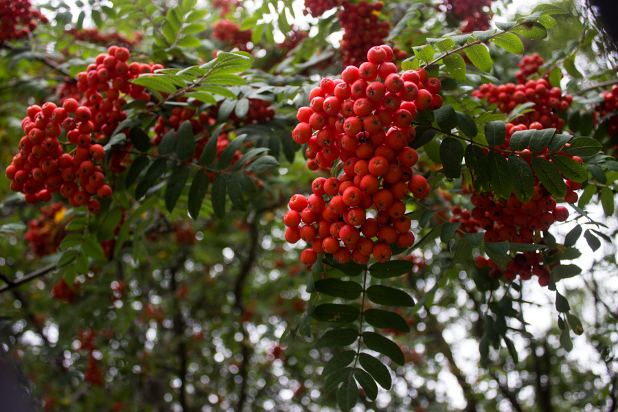 rowanberry, mountain ash berry