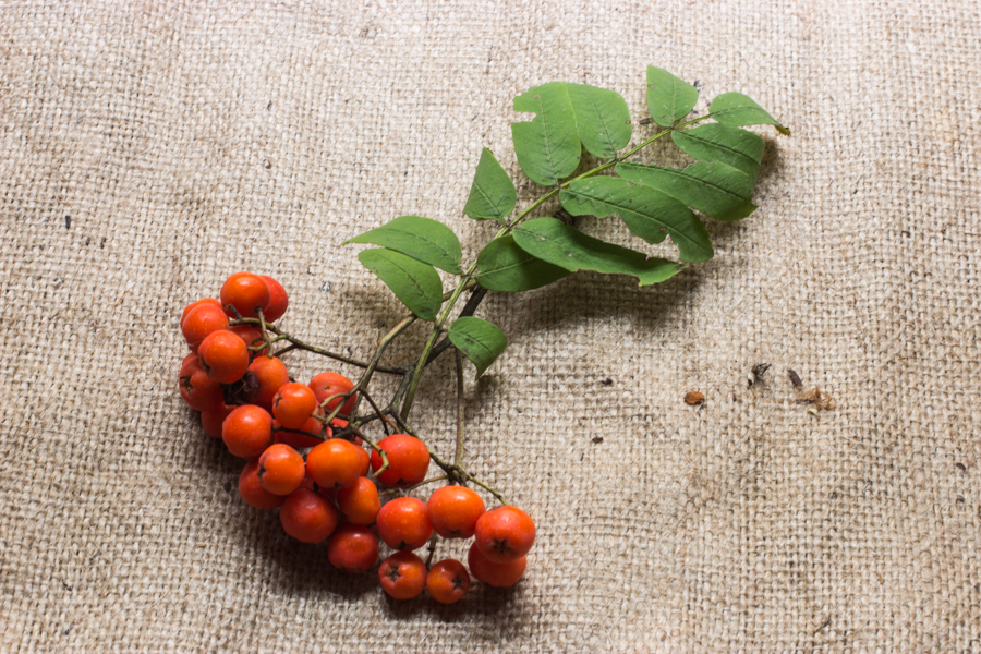 the rowanberry, mountain ash berry