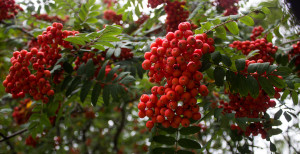 Rowanberries or mountain ash berries