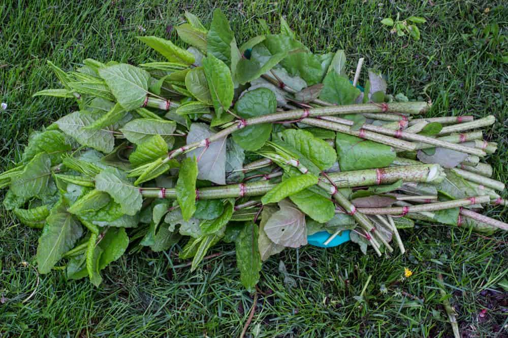 Giant knotweed
