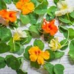 Nasturtium leaves and flowers
