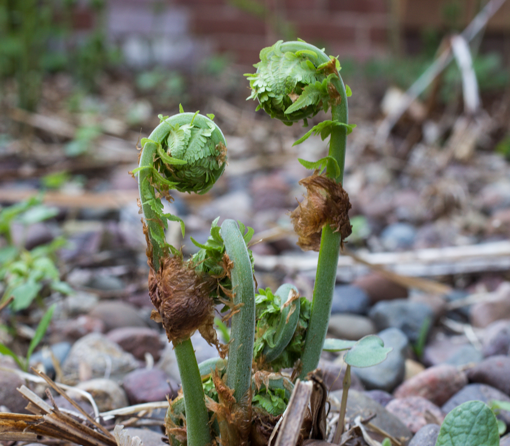 Ostrich Fiddlehead Ferns