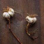 Edible Lilium Bulbs