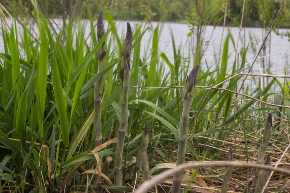 Baptisia, a wild asparagus look a like