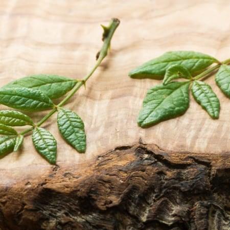 kinome, sansho, wild szechaun peppercorn leaves prickly ash