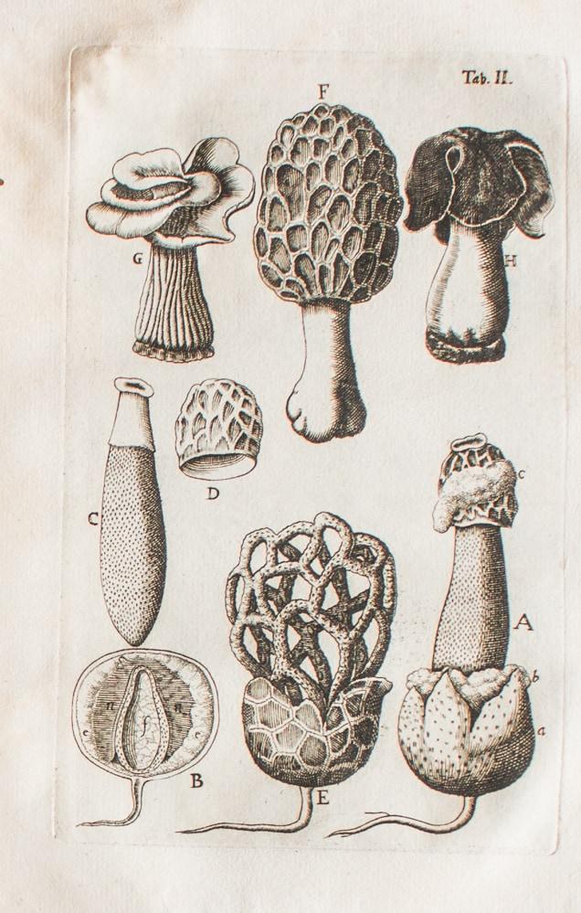 ascomycete mushrooms,
