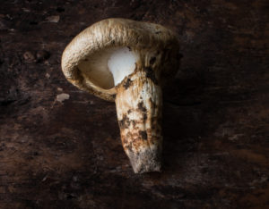Hunt for the Minnesota Matsutake
