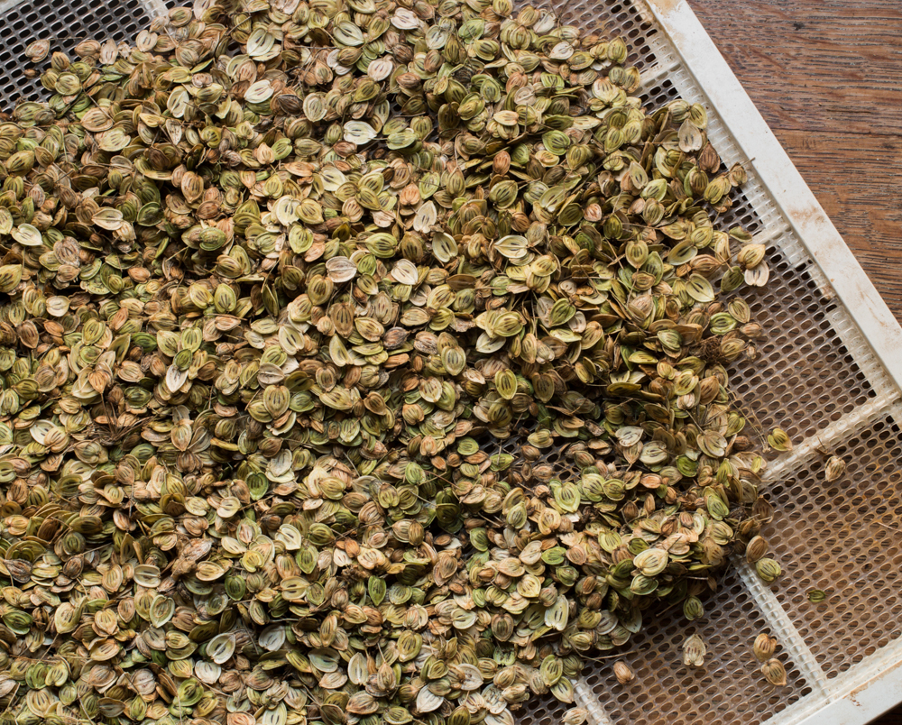 cow parsnip seeds