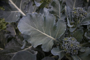 Broccoli Leaves