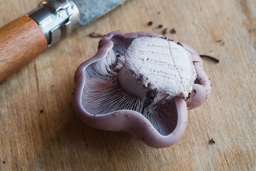 blewit mushroom clitocybe nuda wood blewit