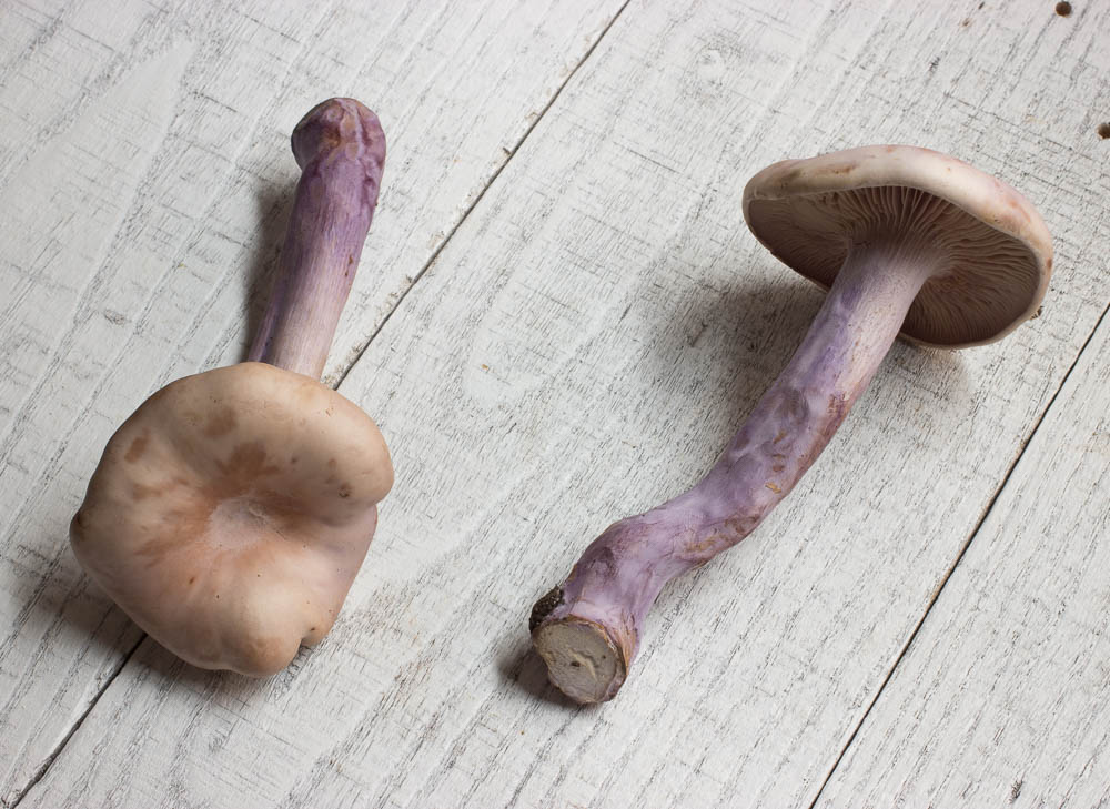 Cultivated blewits from France