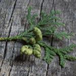 foraged edible cedar cones