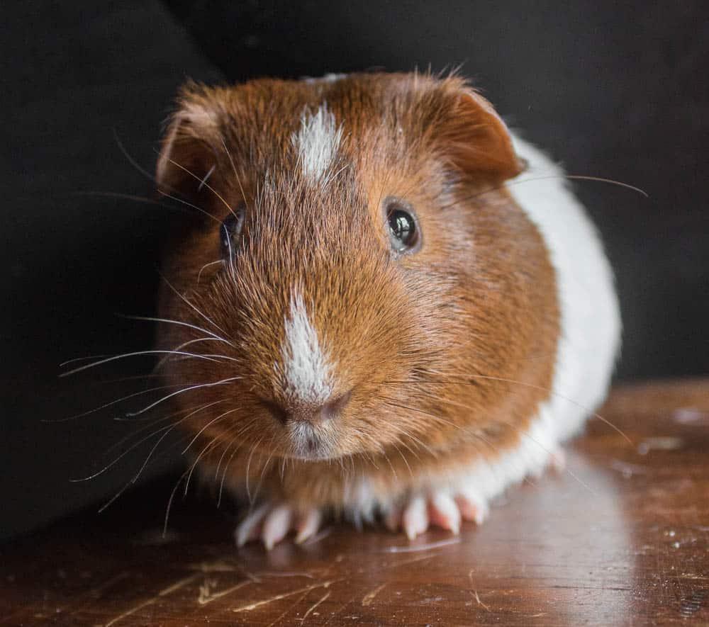 Guinea pig, cuy,