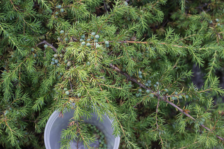 foraged wild juniper