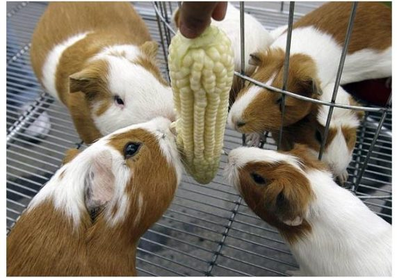 National day of the guinea pig in Peru. Photo: Amusingplanet.com