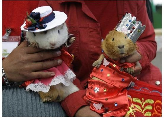 National day of the guinea pig in Peru. Photo: Amusingplanet.com