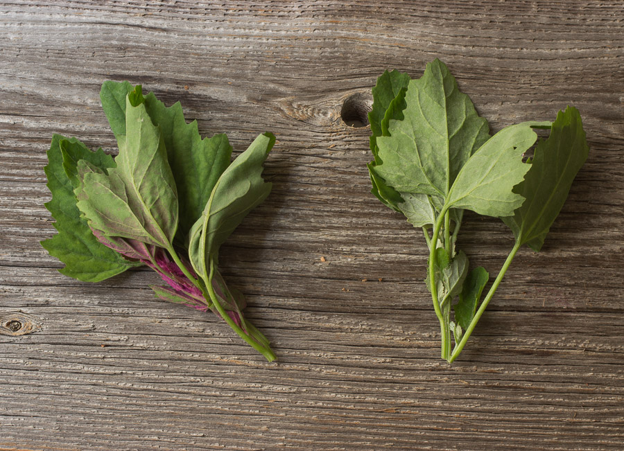 Lamb's Quarters, Chenopodium or Wild Spinach