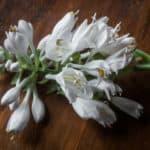 edible hosta flowers