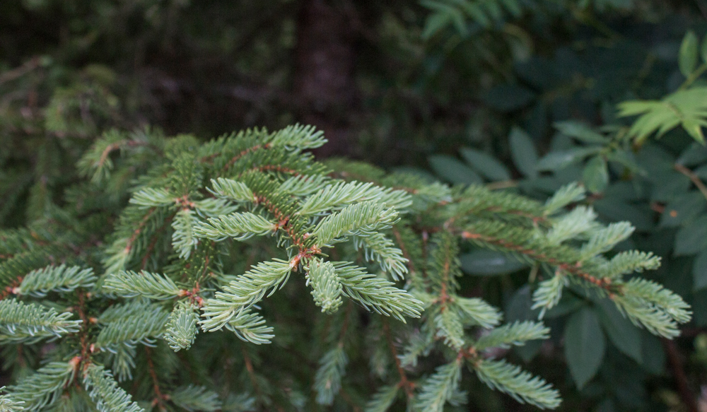 edible, mature spruce tips