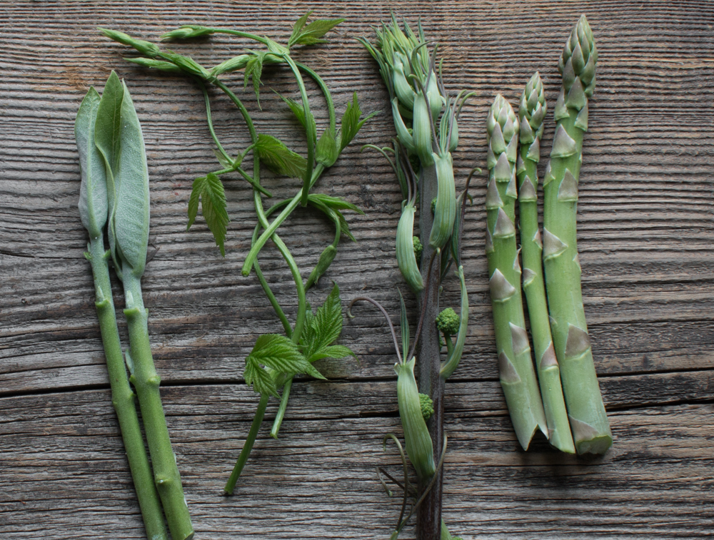 Foraging for edible carrion flower shoots, or smilax / greenbriar