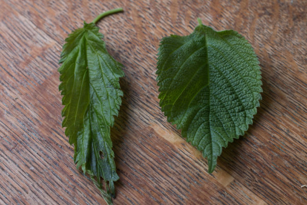 Comparison of wood nettle and stinging nettle leaves