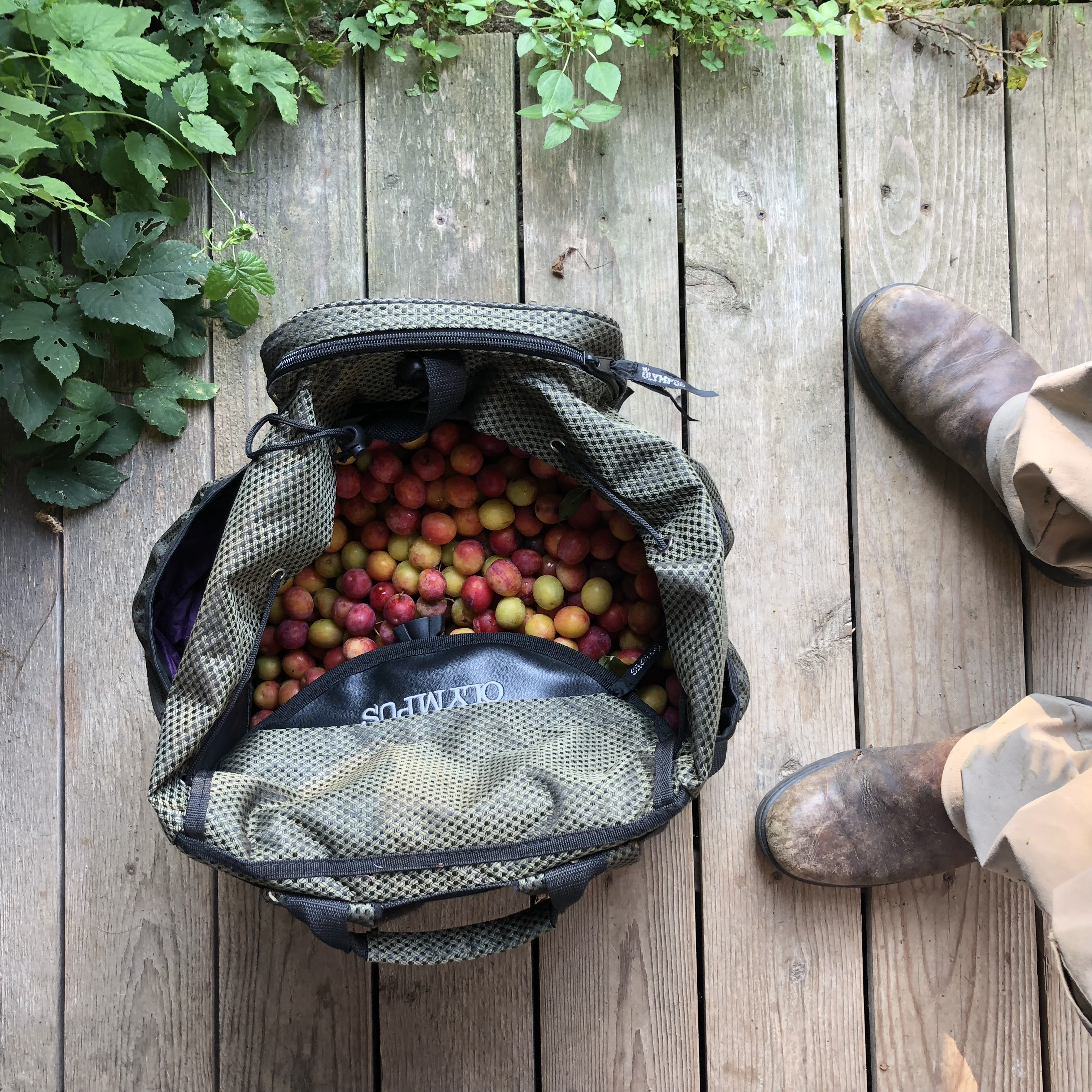 foraging for wild plums with a mushroom backpack