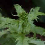 edible Erechtites hieraciifolius burnweed fireweed pilewort