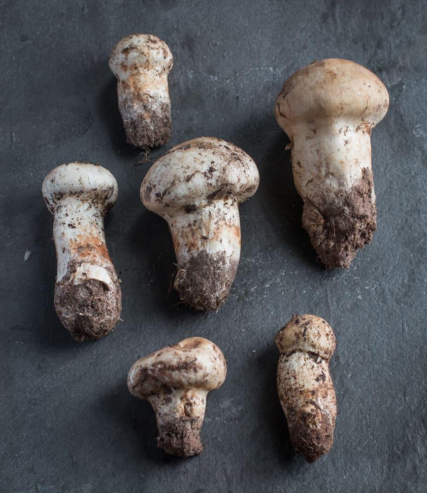 Minnesota matsutake mushrooms