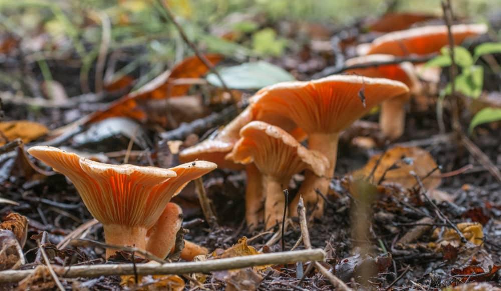 Lactarius thyinos, an edible member of the saffrom milkcap mushroo family