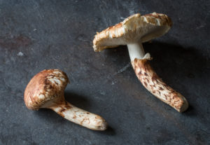 Tricholoma caligatum the false matsutake