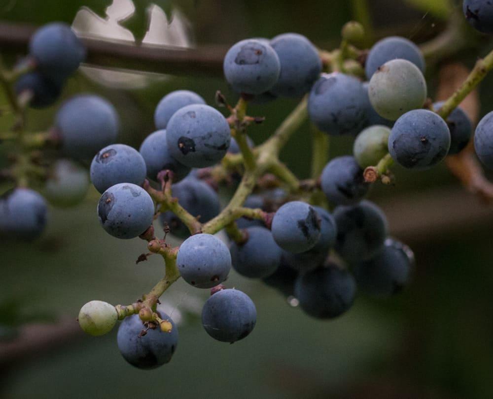 Wild river grapes, or Vitis riparia