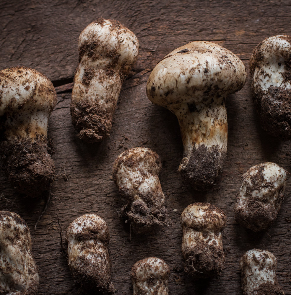 Matsutake Mushrooms from Minnesota