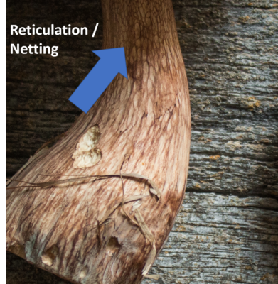 Reticulation on the stem of a Tylopilus mushroom